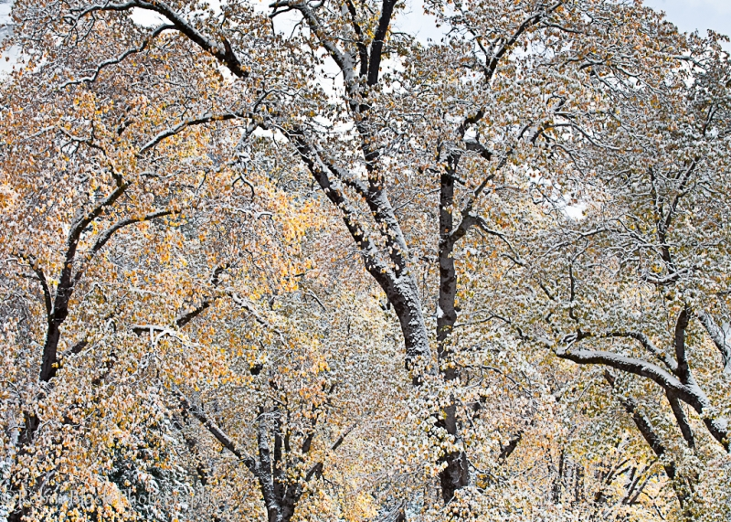 Snow-dusted Autumn Oaks, El Capitan Meadow