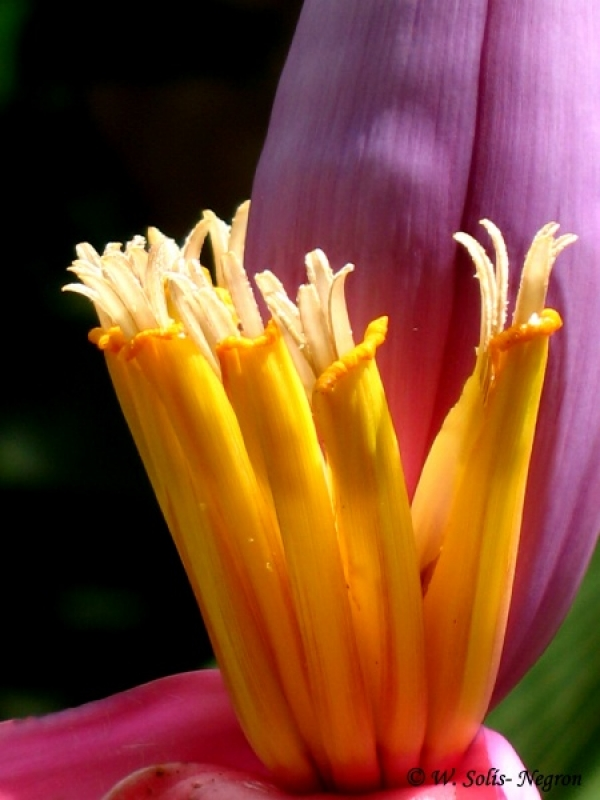 Ornamental Banana Flower