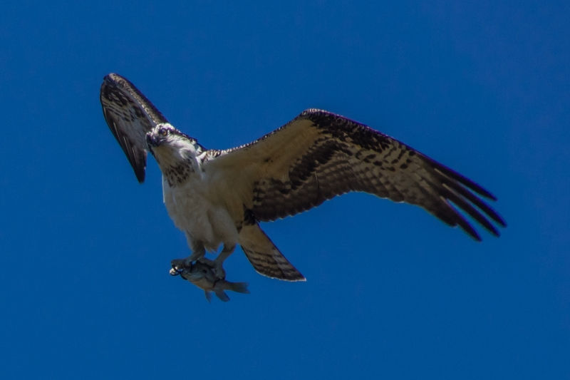 Osprey With Bream