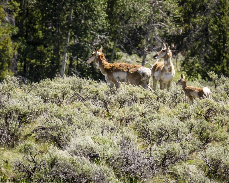Pronghorn Does And Fawn