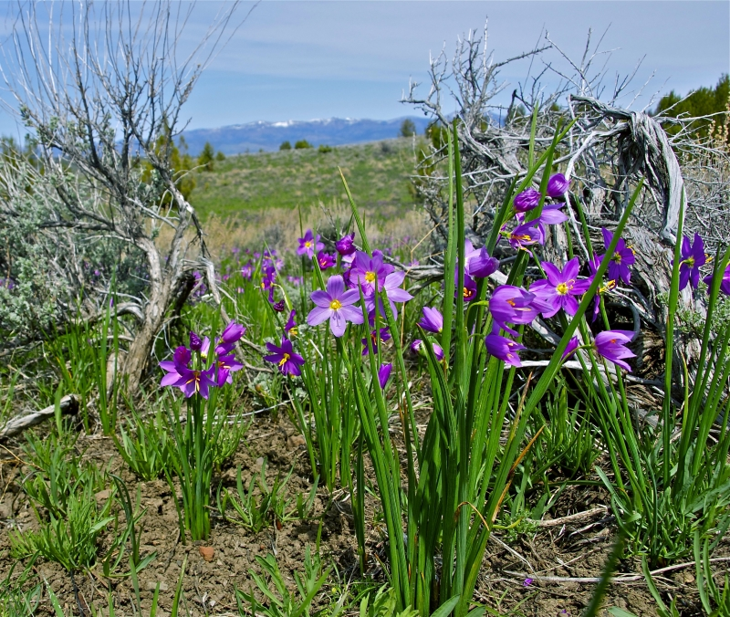 Spring In The Sage Brush