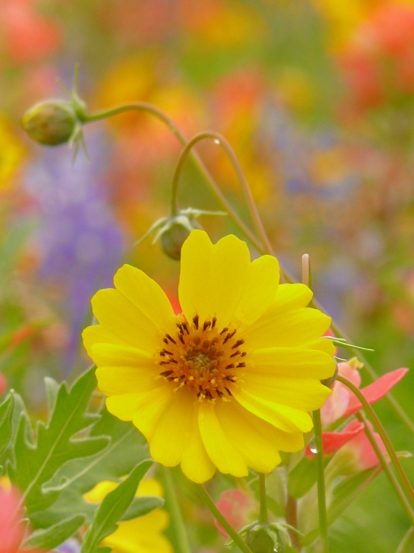 Coreopsis With Pastels