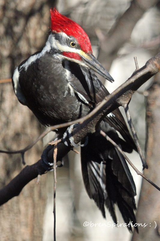 Contemplating Pileated