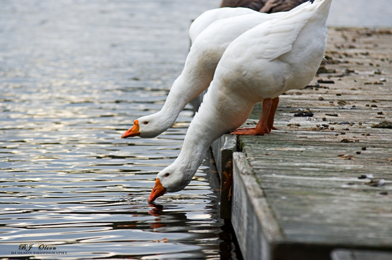 Thirsty Geese