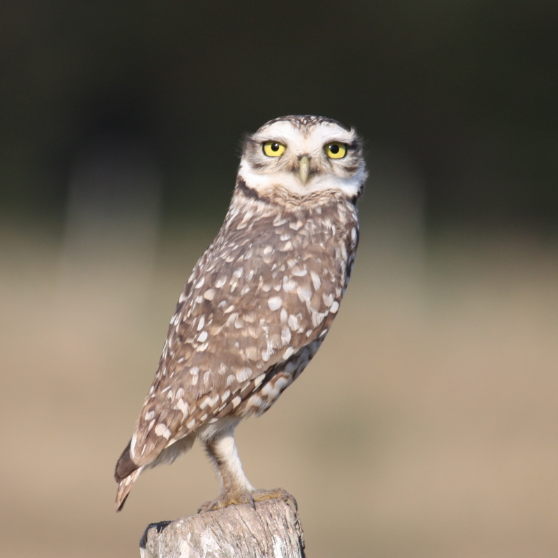 Argentinean Owl