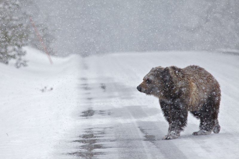 Grizzly Bear Snowstorm