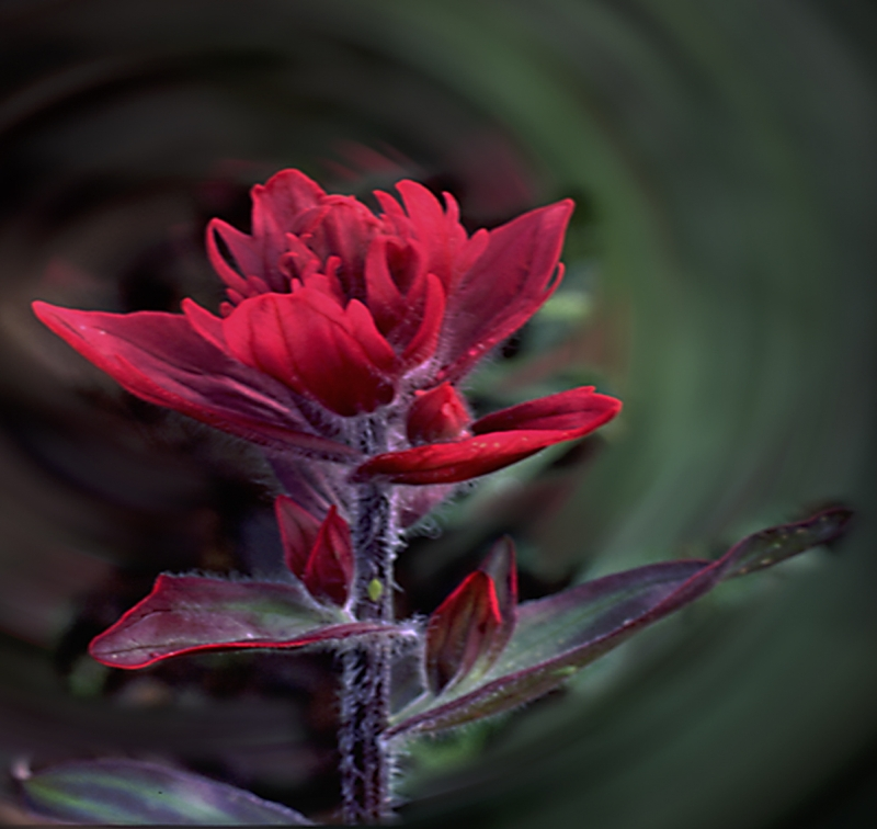 Fire Red Paintbrush Swirl