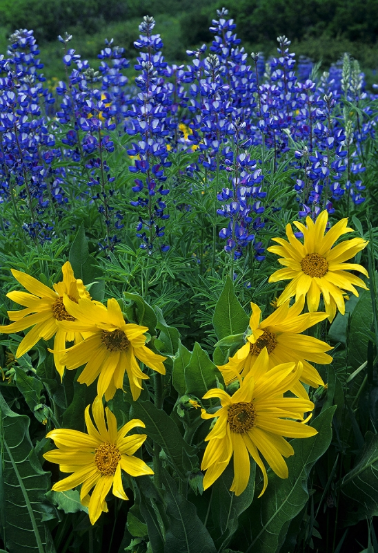Sunflowers & Lupine