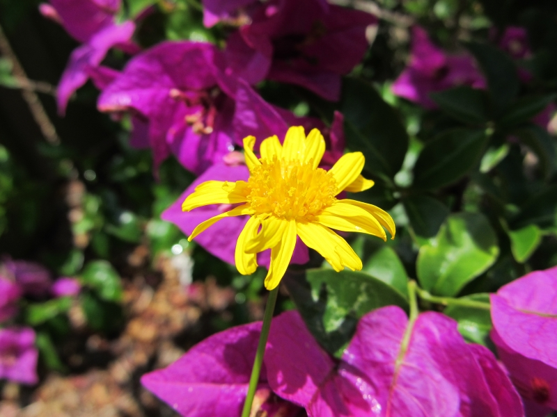 Yellow Daisy And Purple Bougainvillea