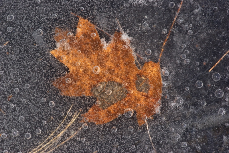 Leaf In The Ice1