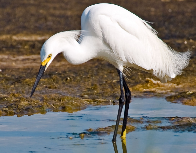 Ft. Pickens – Snowy Egret