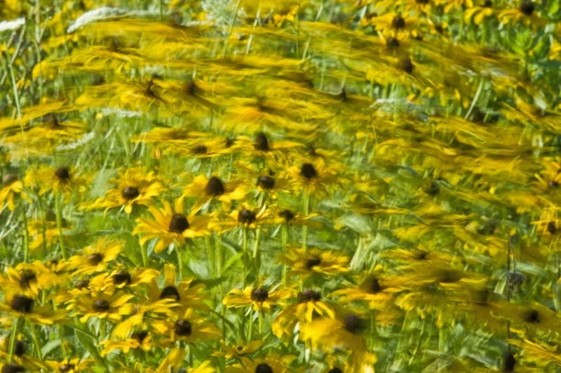 Black Eyed Susan In The Wind