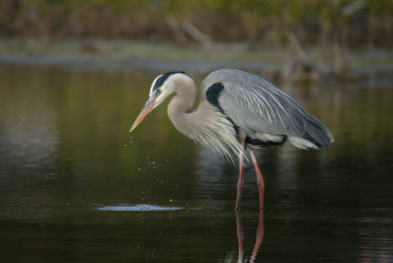 Blue Heron In Lagoon