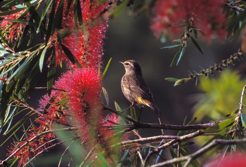 Palm Warbler In Bottlebrush Tree