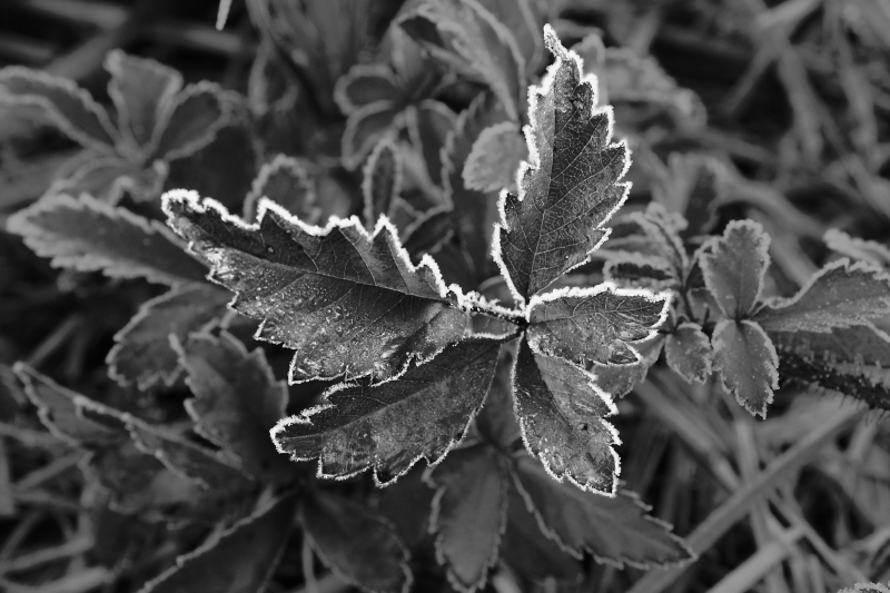 Leaves Outlined In Frost