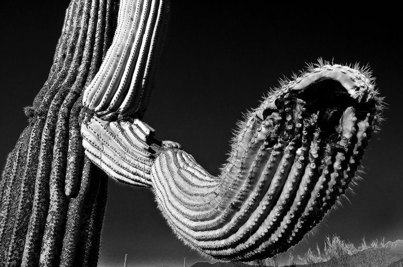 A Saguaros Long Arms