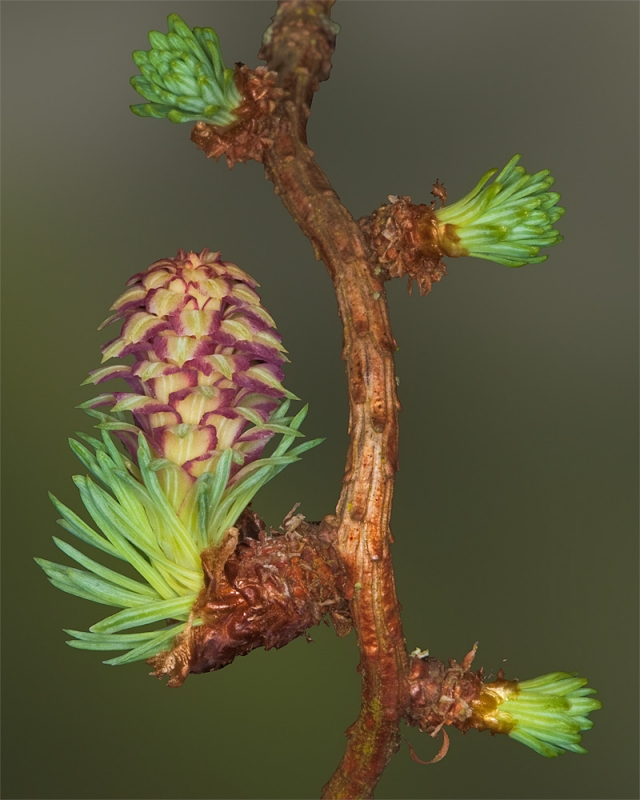Larch Bloom