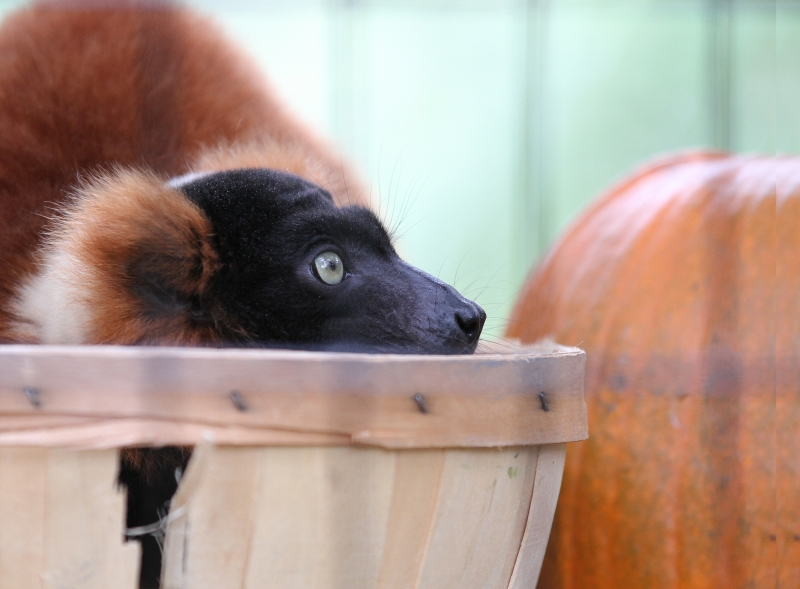 Lemur And The Pumpkin