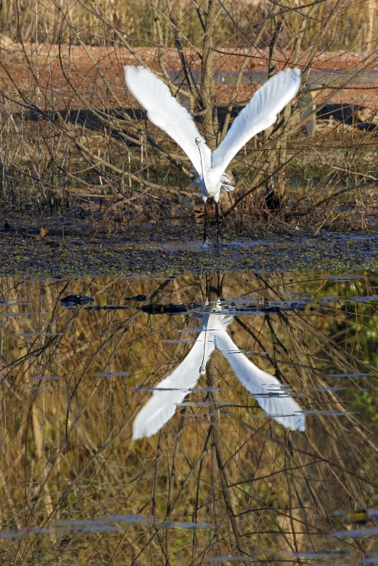 Great Egret Reflecting On Flight