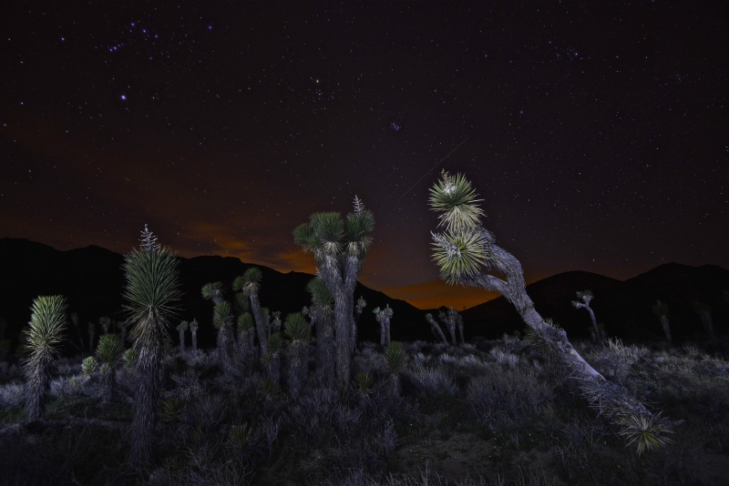 Joshua Trees Under A Night Sky