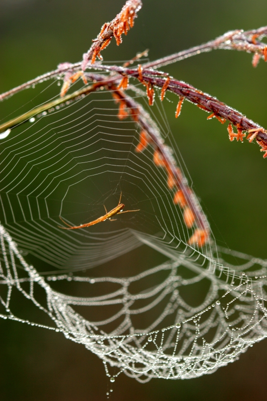 Spider In A Dew-covered Web