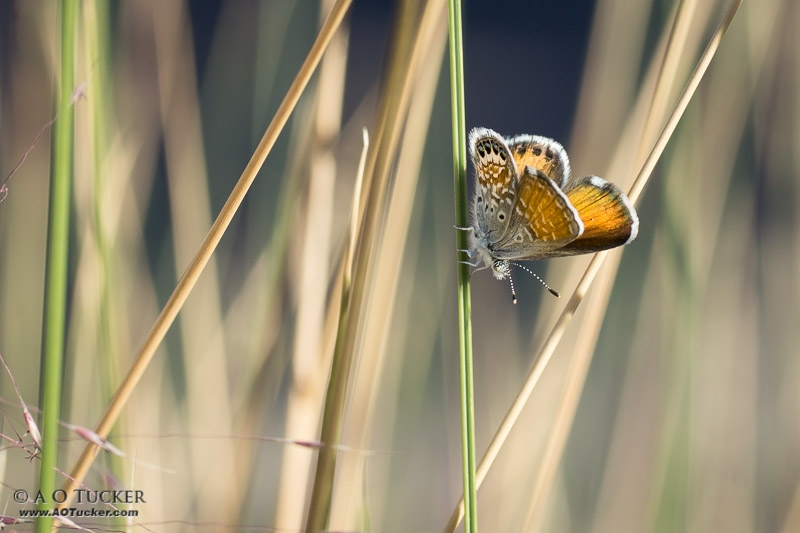 Butterfly Morning Color