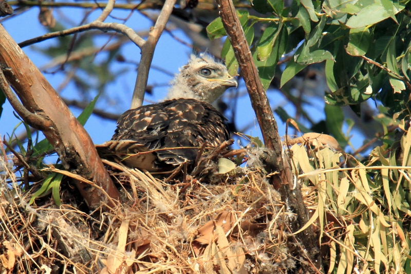Baby Red Tail Hawk Waiting For Dinner