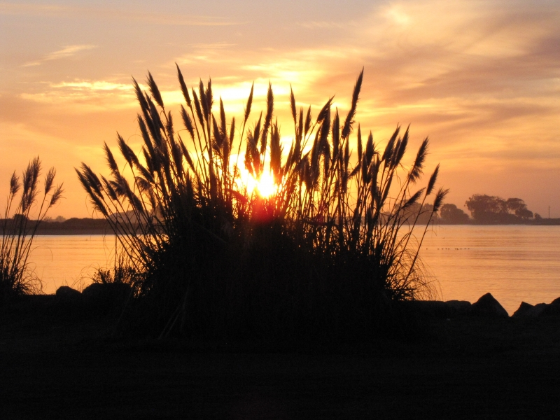 Pampas Grass Sunset