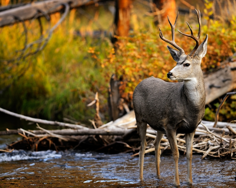 Mule Deer Buck In A Fall Stream
