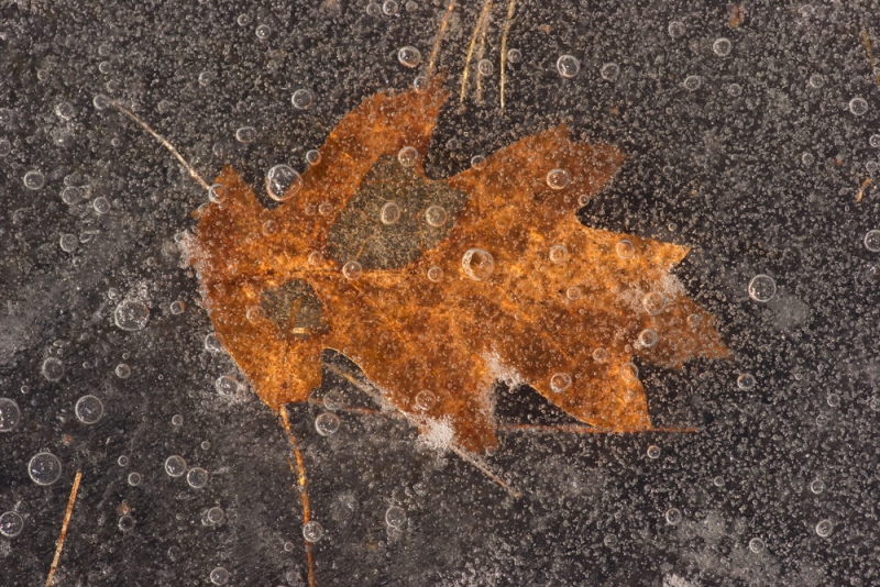 Leaf In The Ice2