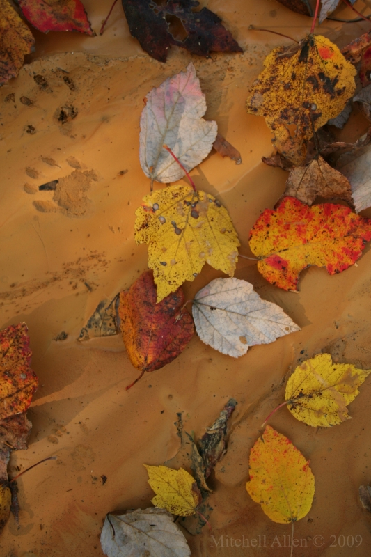 Raccoon Tracks And Autumn Leaves