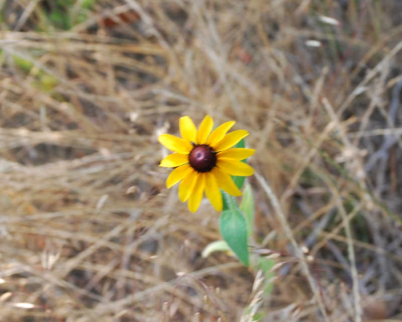 Live Flower In The Midst Of Dead Grass