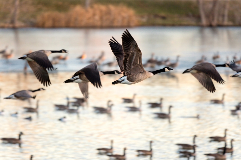 Canadian Geese At Lakeside Park