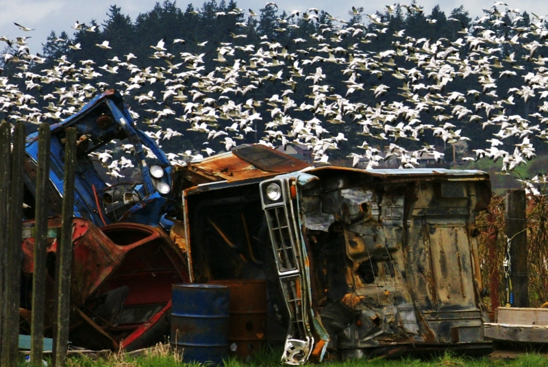 Snow Geese Surround An Abandoned Car
