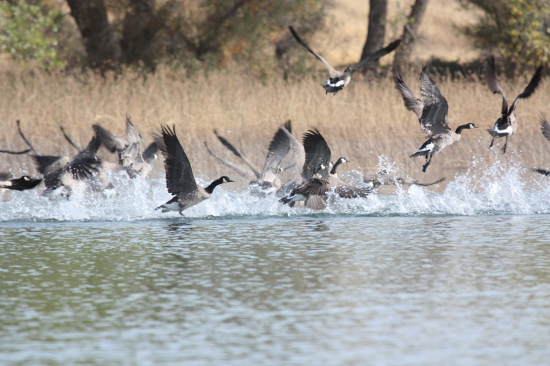 Geese At The Forebay
