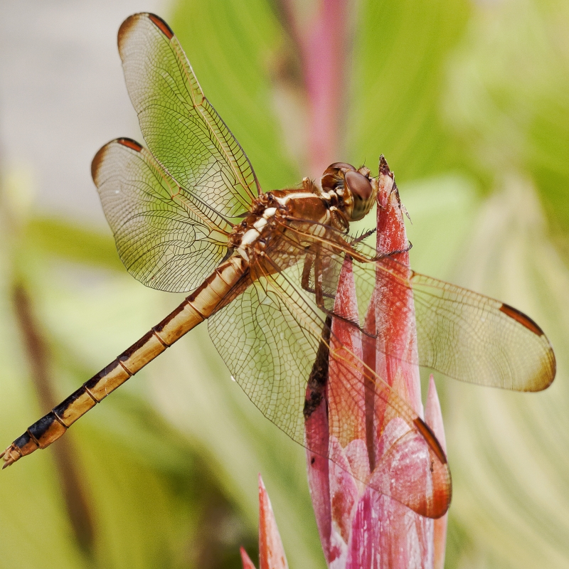 Dragonfly, Brookgreen Gardens