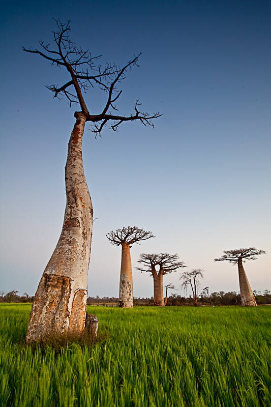 Baobabs Over Rice Fields…