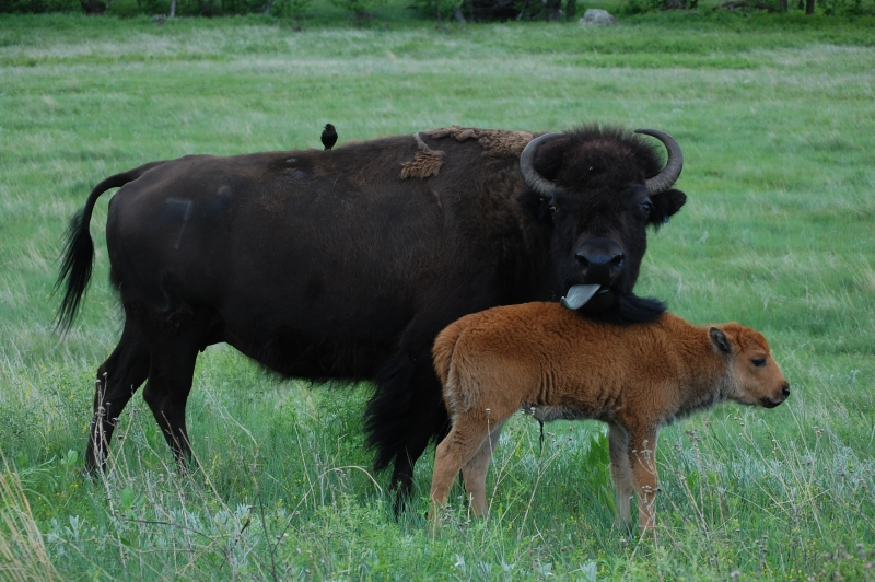 Buffalo Mother And Child