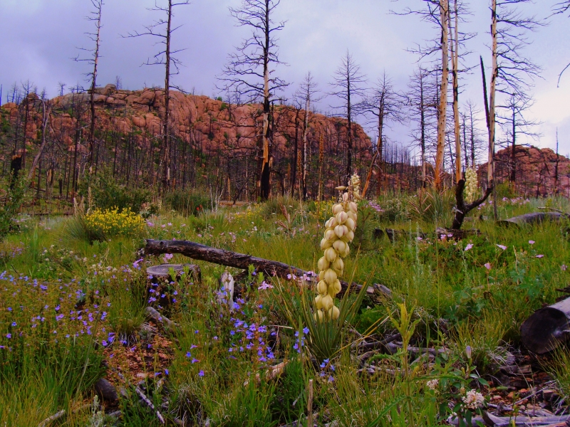 From The Ashes-rebirth-hayman Fire Area