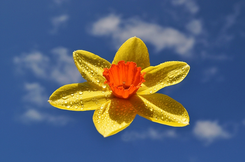 Daffodil In The Sky