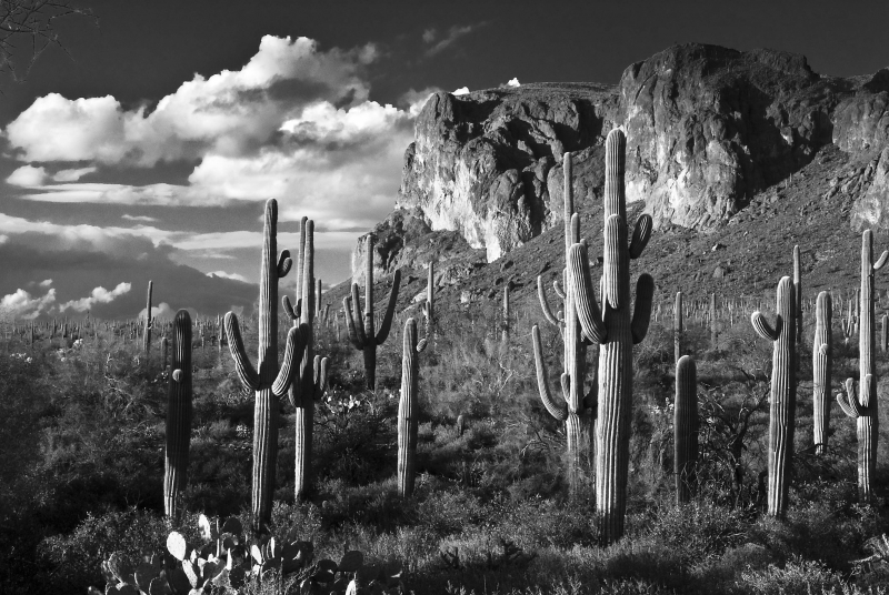 Superstition Saguaros
