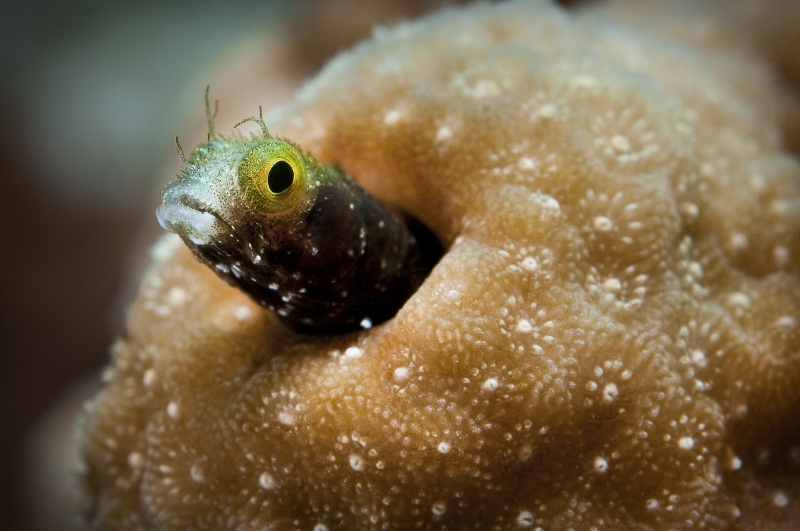 Spiny Headed Blenny: Acanthemblemaria Spinosa