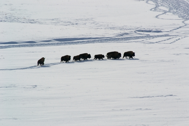 Running Of The Bison