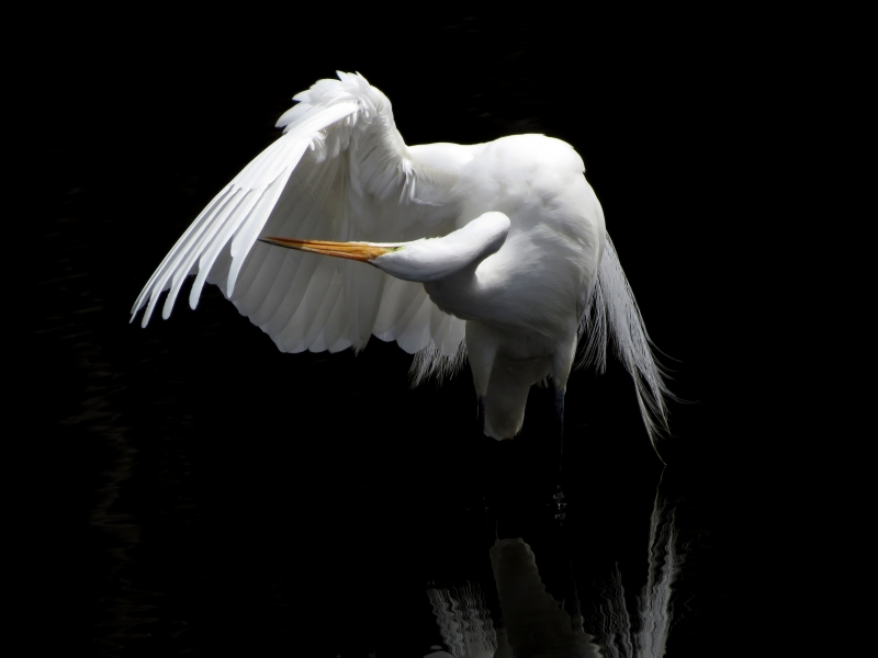 Great Egret Series