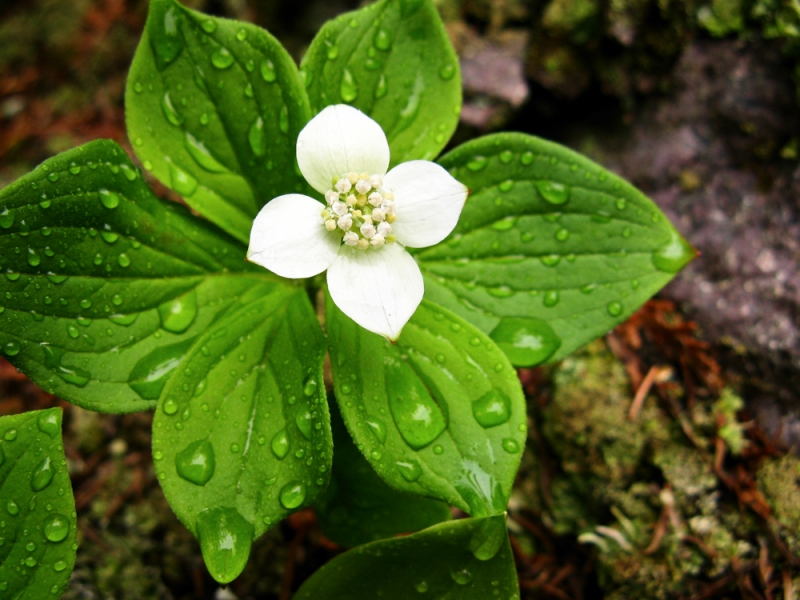 Bunchberry After The Rain