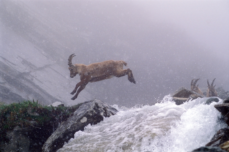 Young Capra Ibex Is Jumping During A Snowfall