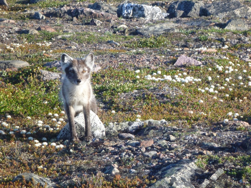 Arctic Fox – Changing Of The Seasons