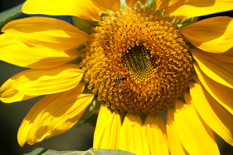 Syrphid's Sunflower