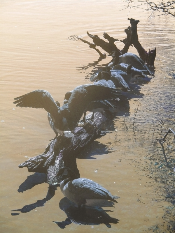 Geese On A Log