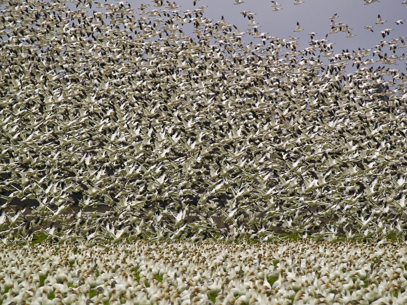 Lesser Snow Geese By The Thousands